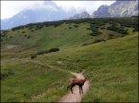 Kozice tatrzańskie w rejonie Przełęczy pod Kopą – lipiec 2013